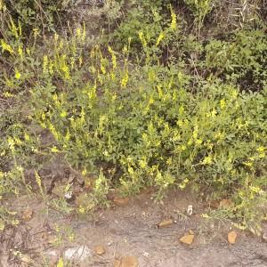 Photographie n°2198122 du taxon Trigonella officinalis (L.) Coulot & Rabaute [2013]