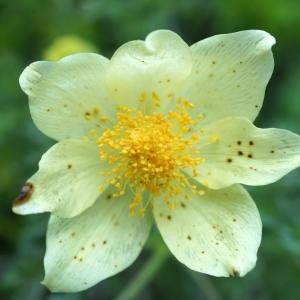 Photographie n°2198148 du taxon Anemone alpina subsp. apiifolia (Scop.) O.Bolòs & Vigo [1974]