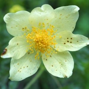 Photographie n°2198149 du taxon Anemone alpina subsp. apiifolia (Scop.) O.Bolòs & Vigo [1974]