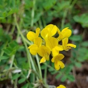 Photographie n°2198322 du taxon Fabaceae