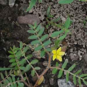 Photographie n°2198475 du taxon Tribulus terrestris L. [1753]