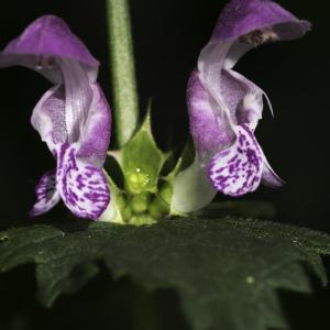 Photographie n°2198555 du taxon Lamium maculatum (L.) L. [1763]