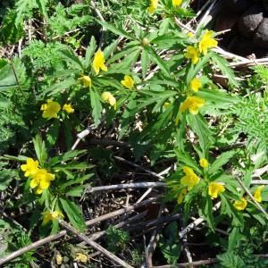 Photographie n°2198588 du taxon Anemone ranunculoides subsp. ranunculoides
