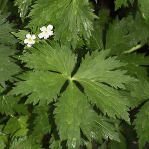 Photographie n°2198593 du taxon Ranunculus aconitifolius L. [1753]