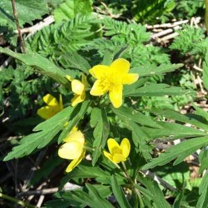 Photographie n°2198594 du taxon Anemone ranunculoides subsp. ranunculoides