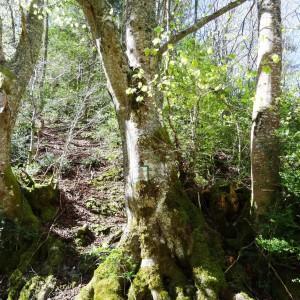 Photographie n°2198615 du taxon Fagus sylvatica L.