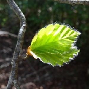 Photographie n°2198617 du taxon Fagus sylvatica L.