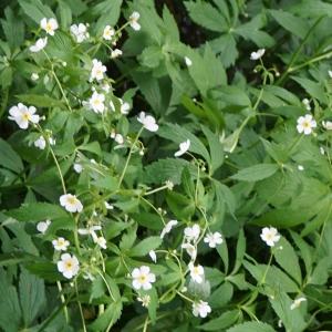 Photographie n°2198755 du taxon Ranunculus aconitifolius L. [1753]