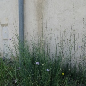 Photographie n°2198910 du taxon Linaria repens (L.) Mill. [1768]