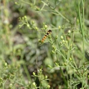 - Thesium humifusum subsp. divaricatum (Jan ex Mert. & W.D.J.Koch) Bonnier & Layens [1894]