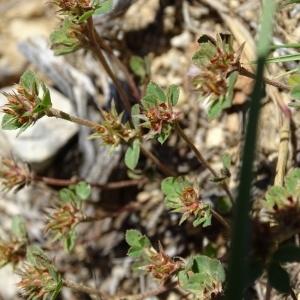 - Trifolium scabrum L. [1753]
