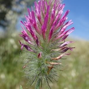 - Trifolium rubens L. [1753]