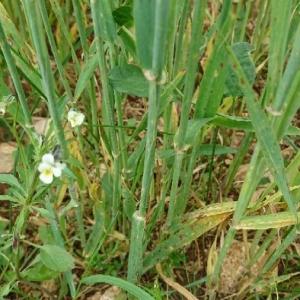Photographie n°2199093 du taxon Viola arvensis Murray [1770]