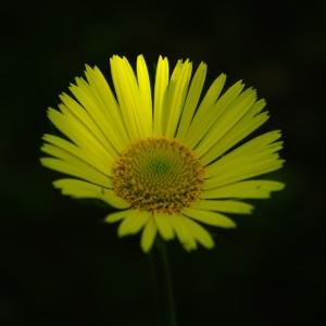 Photographie n°2199288 du taxon Doronicum plantagineum L.