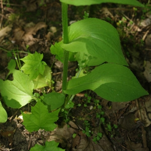 Photographie n°2199289 du taxon Doronicum plantagineum L.