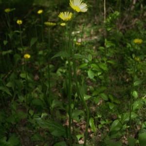 Photographie n°2199291 du taxon Doronicum plantagineum L.