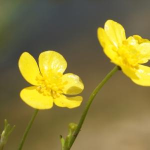 Photographie n°2199367 du taxon Ranunculus flammula L. [1753]