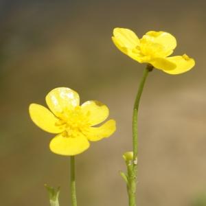 Photographie n°2199369 du taxon Ranunculus flammula L. [1753]