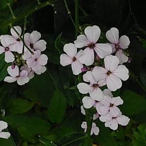 Photographie n°2199387 du taxon Hesperis matronalis L. [1753]