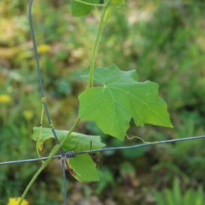 Photographie n°2199479 du taxon Bryonia dioica Jacq. [1774]