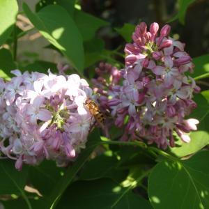 - Syringa vulgaris L. [1753]