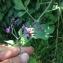 Solanum dulcamara L. [nn2181] par Jean Francois  Marc le 16/06/2018 - Gardanne