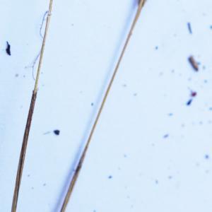 Photographie n°2200586 du taxon Mibora minima (L.) Desv.