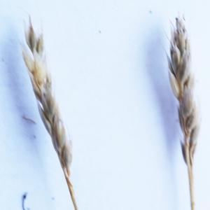 Photographie n°2200588 du taxon Mibora minima (L.) Desv.
