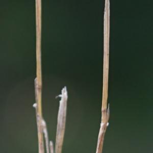 Photographie n°2200589 du taxon Mibora minima (L.) Desv.