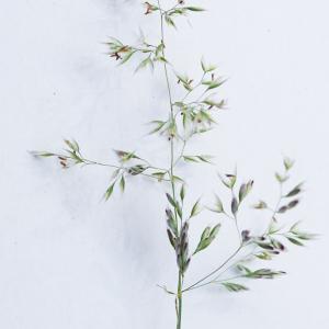 Corynephorus canescens (L.) P.Beauv. (Corynéphore argenté)