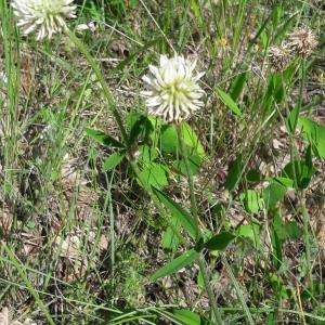 Photographie n°2200654 du taxon Trifolium montanum L. [1753]
