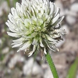 Photographie n°2200655 du taxon Trifolium montanum L. [1753]