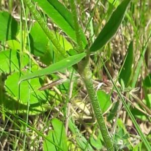 Photographie n°2200656 du taxon Trifolium montanum L. [1753]