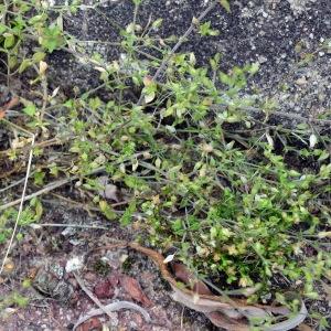 Photographie n°2200868 du taxon Arenaria serpyllifolia L. [1753]