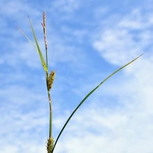 Photographie n°2200890 du taxon Carex hirta L. [1753]