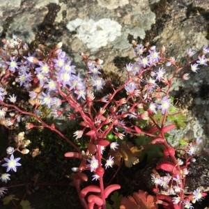 Photographie n°2200986 du taxon Sedum caeruleum L. [1771]