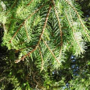 Photographie n°2201116 du taxon Picea abies subsp. abies