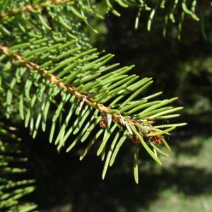 Photographie n°2201117 du taxon Picea abies subsp. abies