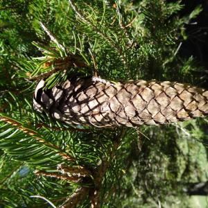 Photographie n°2201119 du taxon Picea abies subsp. abies