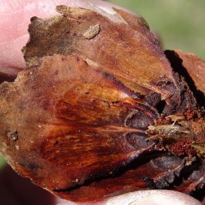 Photographie n°2201121 du taxon Picea abies subsp. abies