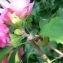 La Spada Arturo - Hibiscus syriacus L. [1753]
