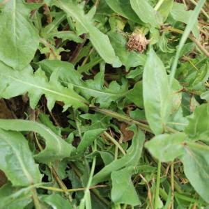 Photographie n°2201491 du taxon Urospermum dalechampii (L.) Scop. ex F.W.Schmidt [1795]