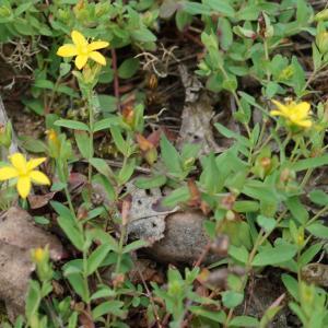 Photographie n°2201498 du taxon Hypericum humifusum L. [1753]