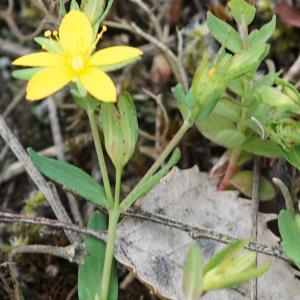 Photographie n°2201505 du taxon Hypericum humifusum L. [1753]