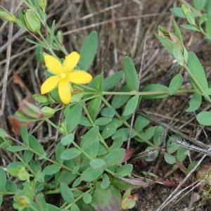 Photographie n°2201516 du taxon Hypericum humifusum L. [1753]