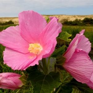 Hibiscus palustris L. (Hibiscus des marais)