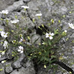 Photographie n°2201739 du taxon Atocion rupestre (L.) B.Oxelman