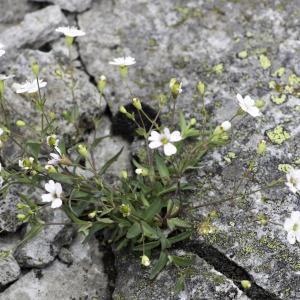 Photographie n°2201740 du taxon Atocion rupestre (L.) B.Oxelman