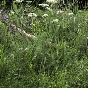 Photographie n°2201777 du taxon Meum athamanticum Jacq. [1776]