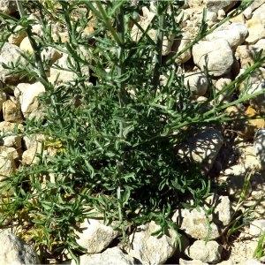 Photographie n°2201899 du taxon Centaurea paniculata L. [1753]